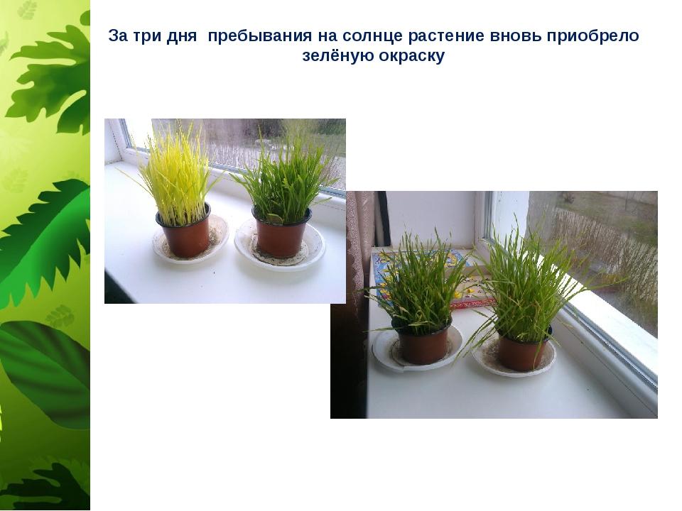 За три дня пребывания на солнце растение вновь приобрело зелёную окраску