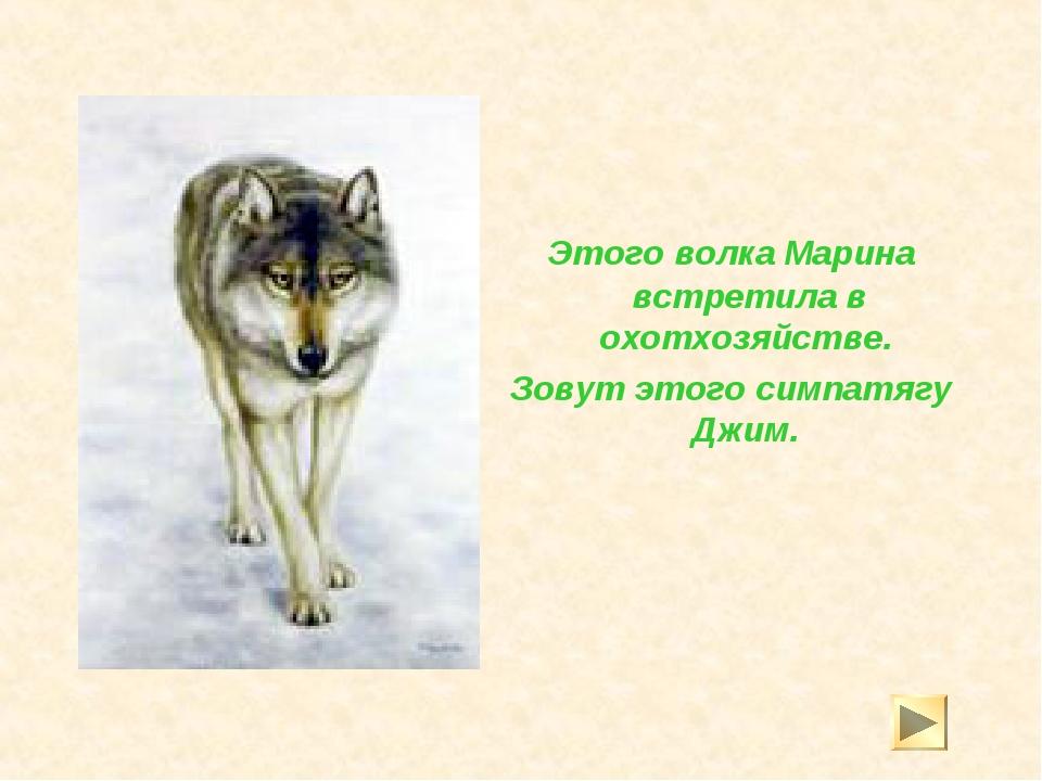 Этого волка Марина встретила в охотхозяйстве. Зовут этого симпатягу Джим.