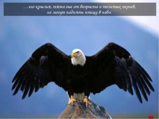 …его крылья, тяжелые от возраста и толстых перьев, не могут поднять птицу в н