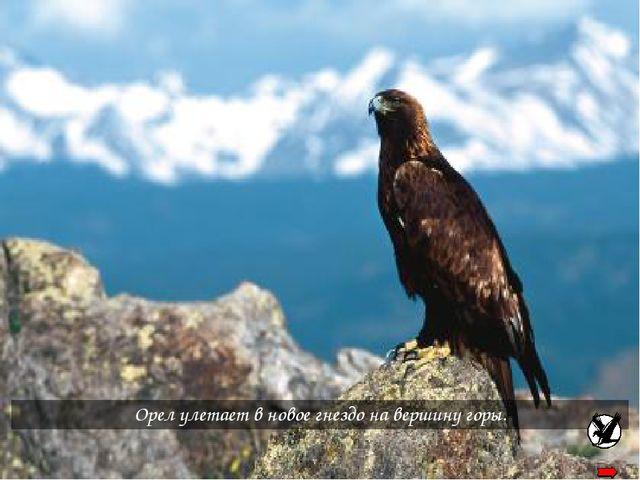 Орел улетает в новое гнездо на вершину горы.