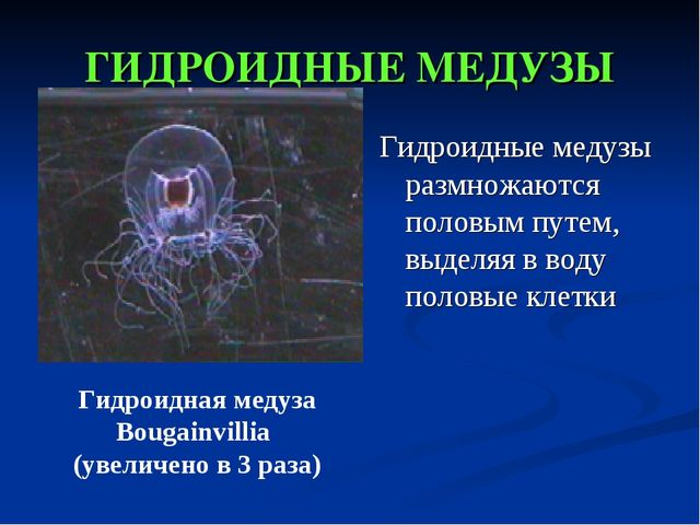 ГИДРОИДНЫЕ МЕДУЗЫ Гидроидные медузы размножаются половым путем, выделяя в вод...