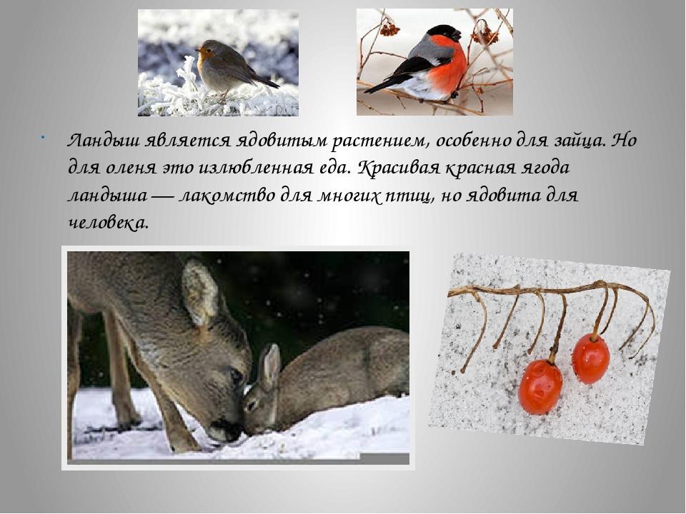 Ландыш является ядовитым растением, особенно для зайца. Но для оленя это изл...