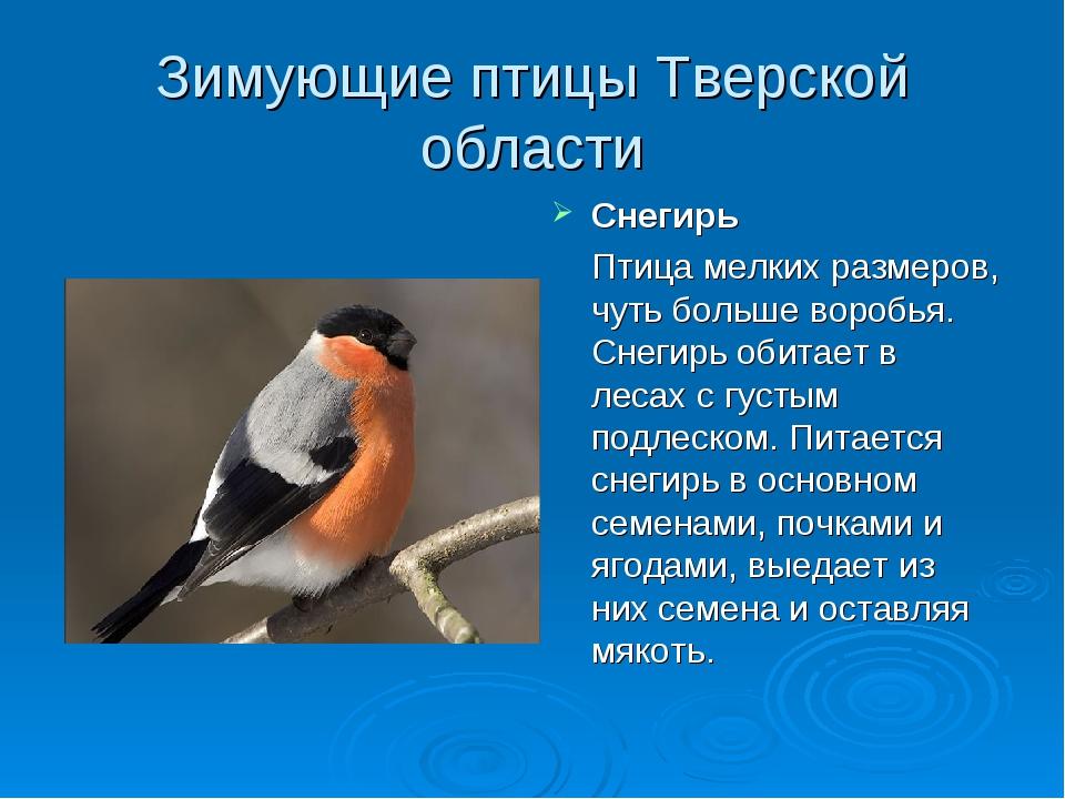 Зимующие птицы Тверской области Снегирь Птица мелких размеров, чуть больше во...