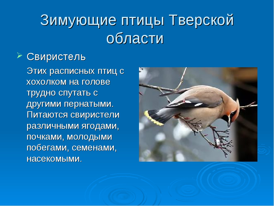 Зимующие птицы Тверской области Свиристель Этих расписных птиц с хохолком на...