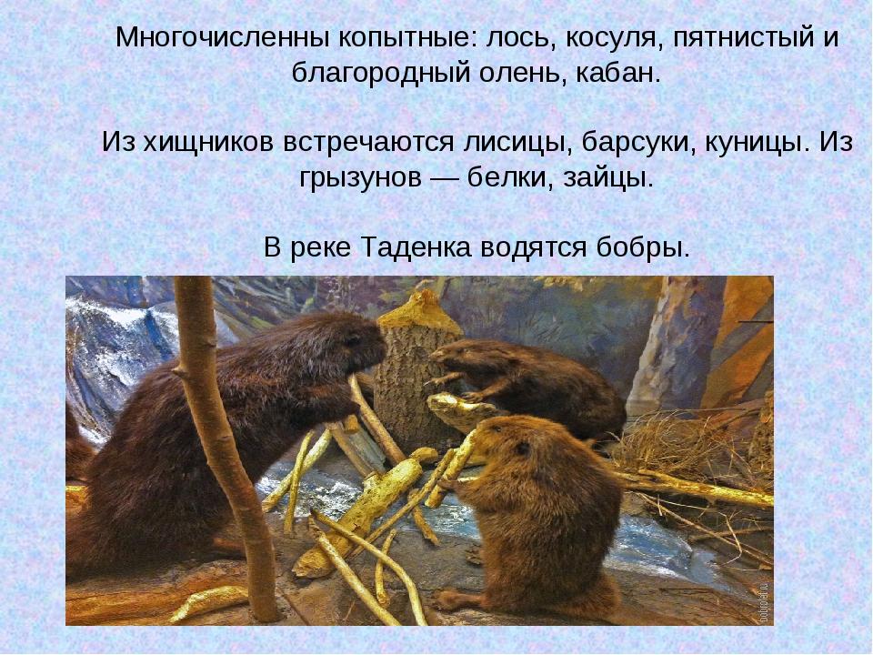 Многочисленны копытные: лось, косуля, пятнистый и благородный олень, кабан. И...