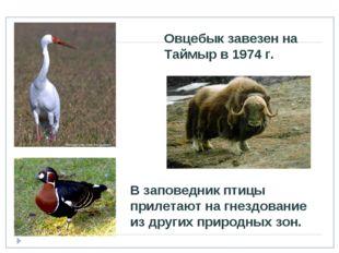 Овцебык завезен на Таймыр в 1974 г. В заповедник птицы прилетают на гнездован