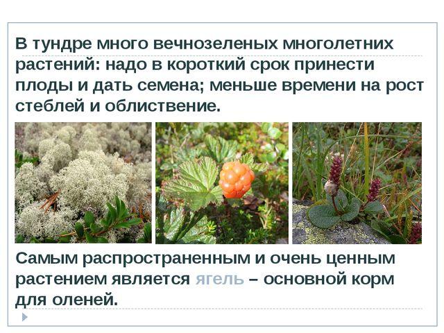 Самым распространенным и очень ценным растением является ягель – основной кор...