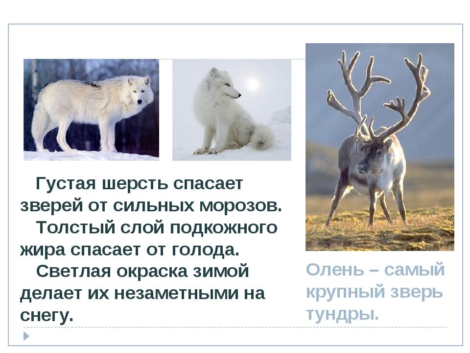 Олень – самый крупный зверь тундры. Густая шерсть спасает зверей от сильных м...