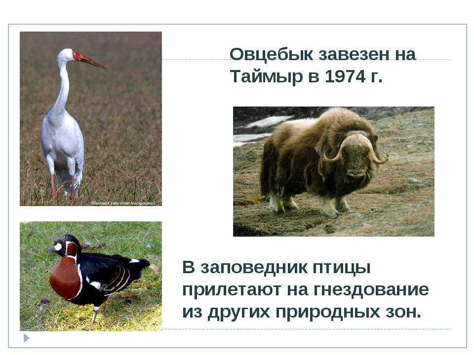 Овцебык завезен на Таймыр в 1974 г. В заповедник птицы прилетают на гнездован...