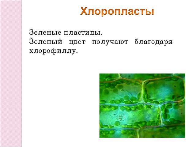 Зеленые пластиды. Зеленый цвет получают благодаря хлорофиллу.