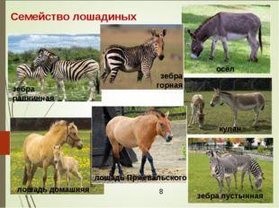 Семейство лошадиных зебра равнинная зебра пустынная осёл кулан лошадь домашня