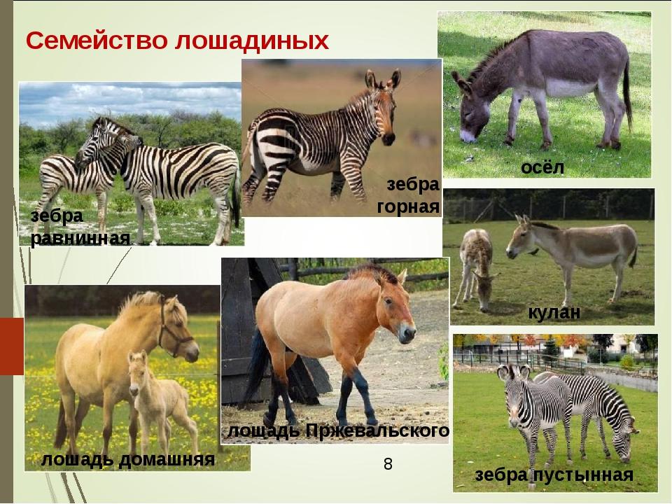 Семейство лошадиных зебра равнинная зебра пустынная осёл кулан лошадь домашня...