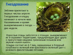 Взрослые птицы заботятся о птенцах, выкармливают их и охраняют территорию, п