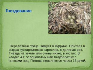 Перелётнаяптица, зимует вАфрике. Обитает в сырых кустарниковых зарослях, в