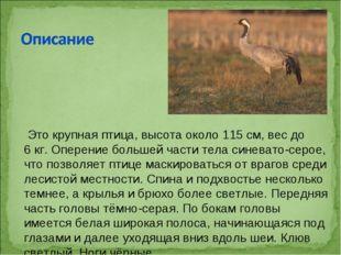 Это крупная птица, высота около 115см, вес до 6кг. Оперение большей части