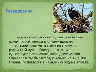Гнездо строят из сухих сучьев, выстилают сухой травой, иногда клочками шерст
