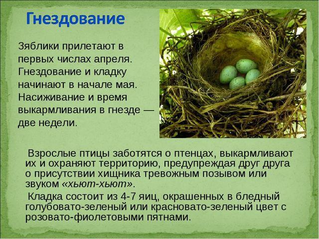 Взрослые птицы заботятся о птенцах, выкармливают их и охраняют территорию, п...