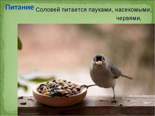 Соловей питаетсяпауками,насекомыми, червями, ягодами.