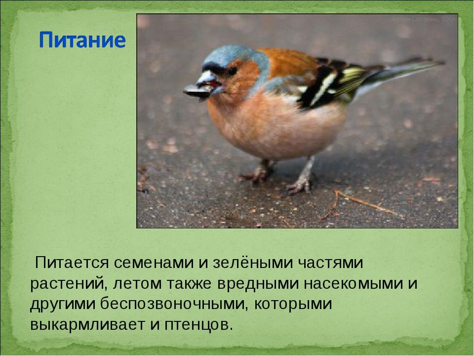Питается семенами и зелёными частями растений, летом также вредными насекомы...