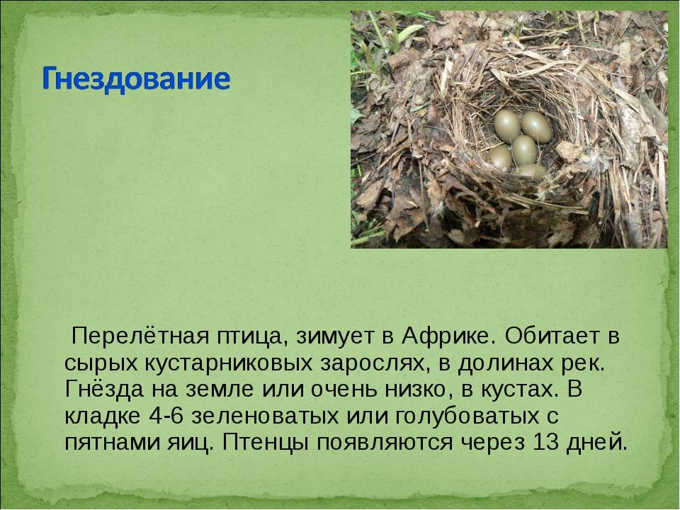 Перелётнаяптица, зимует вАфрике. Обитает в сырых кустарниковых зарослях, в...