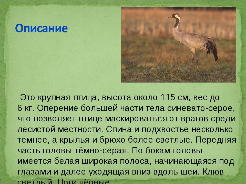 Это крупная птица, высота около 115см, вес до 6кг. Оперение большей части...