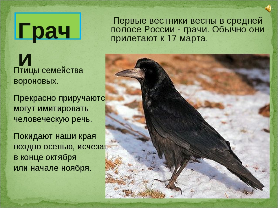 Первые вестники весны в средней полосе России - грачи. Обычно они прилетают...