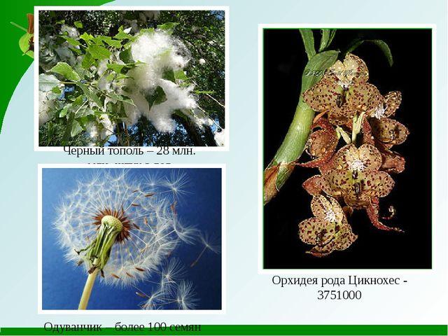 Черный тополь – 28 млн. млн. штук в год Орхидея рода Цикнохес - 3751000 Одува...