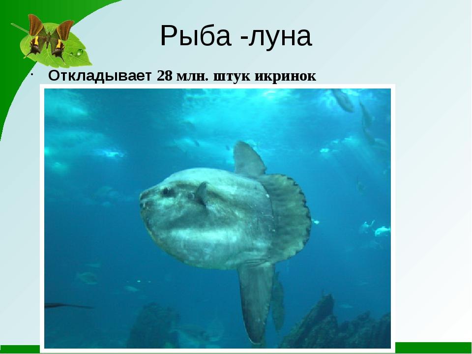 Рыба -луна Откладывает 28 млн. штук икринок