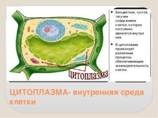 ЦИТОПЛАЗМА- внутренняя среда клетки Бесцветное, густое, тягучее содержимое кл