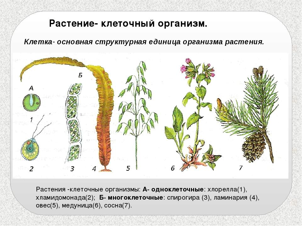 Растение- клеточный организм. Клетка- основная структурная единица организма...
