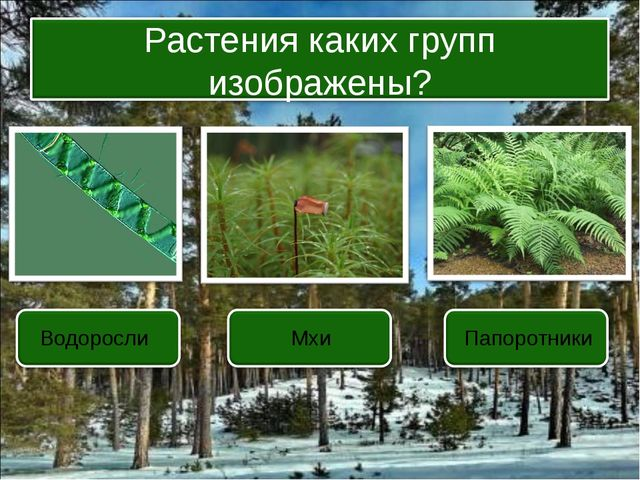 Водоросли Мхи Папоротники Растения каких групп изображены?