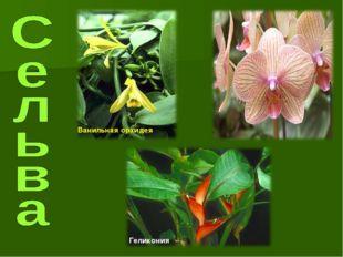 Ванильная орхидея Геликония