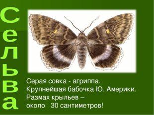Серая совка - агриппа. Крупнейшая бабочка Ю. Америки. Размах крыльев – около