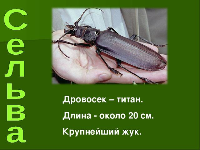 Дровосек – титан. Длина - около 20 см. Крупнейший жук.