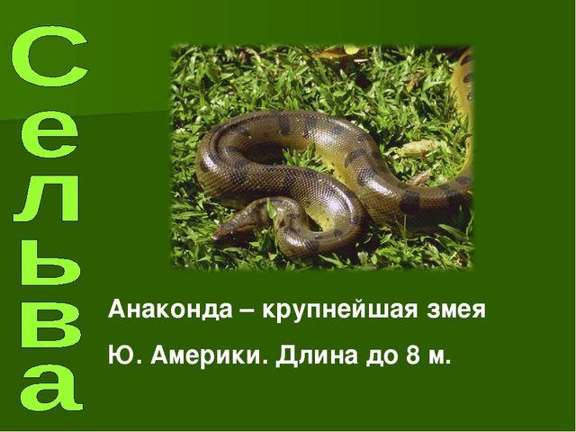 Анаконда – крупнейшая змея Ю. Америки. Длина до 8 м.