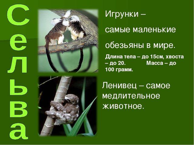 Игрунки – самые маленькие обезьяны в мире. Длина тела – до 15см, хвоста – до...