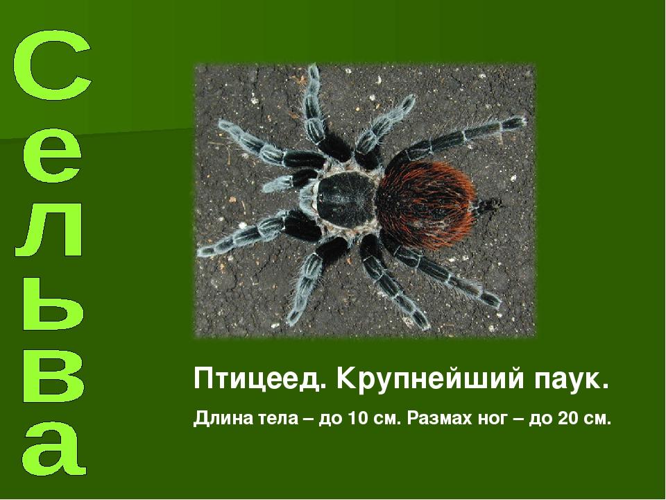 Птицеед. Крупнейший паук. Длина тела – до 10 см. Размах ног – до 20 см.