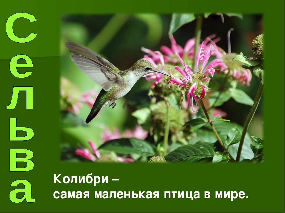 Колибри – самая маленькая птица в мире.