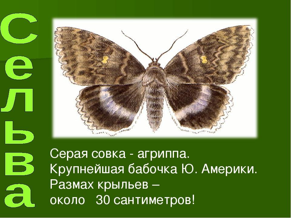Серая совка - агриппа. Крупнейшая бабочка Ю. Америки. Размах крыльев – около...