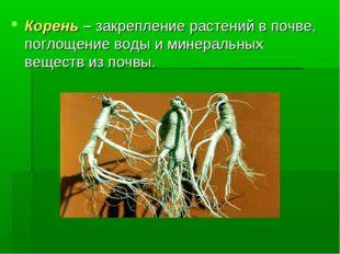 Корень – закрепление растений в почве, поглощение воды и минеральных веществ