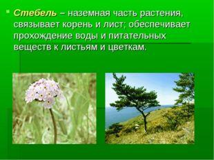 Стебель – наземная часть растения, связывает корень и лист; обеспечивает прох