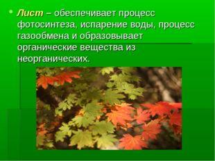 Лист – обеспечивает процесс фотосинтеза, испарение воды, процесс газообмена и