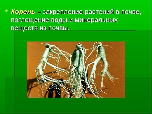 Корень – закрепление растений в почве, поглощение воды и минеральных веществ...