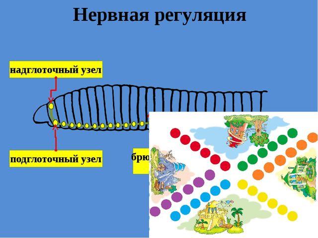 Нервная регуляция надглоточный узел подглоточный узел брюшная нервная цепочка...