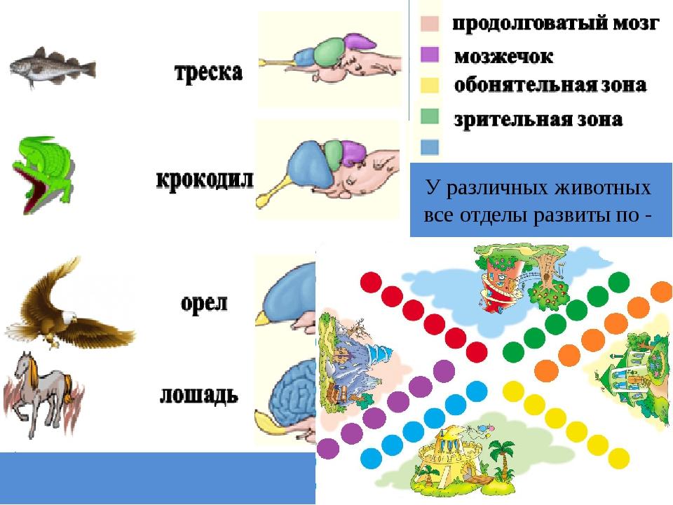 У различных животных все отделы развиты по - разному. С чем это связано? С у...