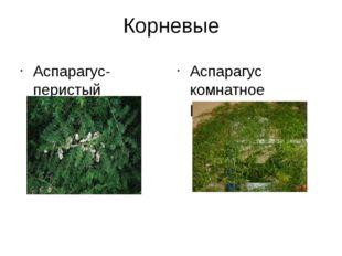 Корневые Аспарагус- перистый вьющийся кустарник Аспарагус комнатное растение