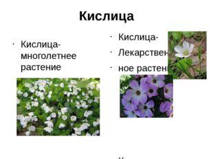Кислица Кислица- многолетнее растение Кислица- Лекарствен ное растение Кислиц