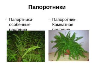Папоротники Папортники-особенные растения Папоротник-Комнатное растение
