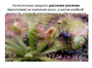 На иголочках хищного растения росянки (мухоловки) не капельки росы, а капли к