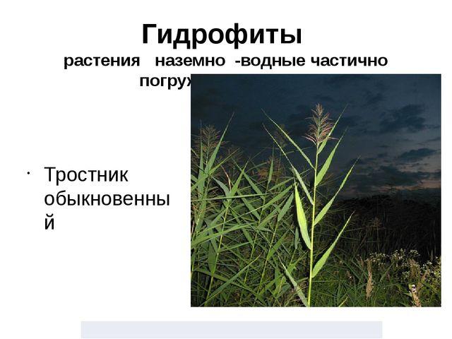 Гидрофиты растения наземно -водные частично погруженные в воду Тростник обыкн...